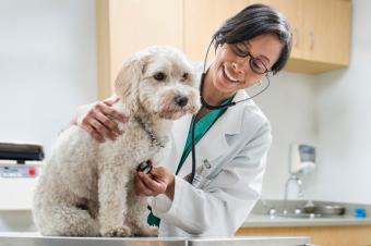 Veterinarian checking dog's heart beat