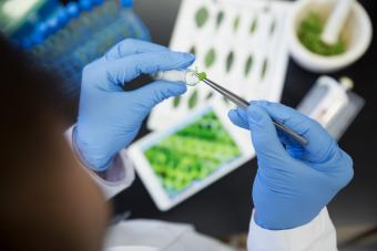 Agricultural research scientist examining sprout