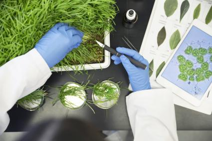 Scientist examining GMO plants in laboratory