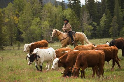 Rancher herding cattle