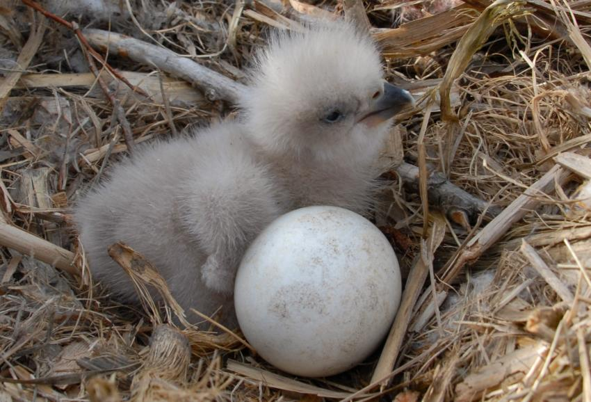 https://cf.ltkcdn.net/kids/images/slide/251605-850x578-Baby_Eagle.jpg