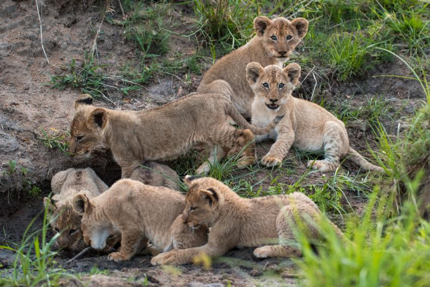 https://cf.ltkcdn.net/kids/images/slide/251621-850x567-Baby_lion_cubs.jpg