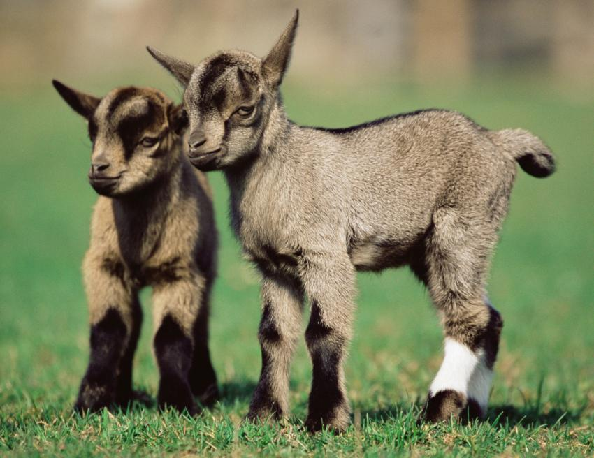 https://cf.ltkcdn.net/kids/images/slide/251653-850x656-Baby_Kid_Goats.jpg