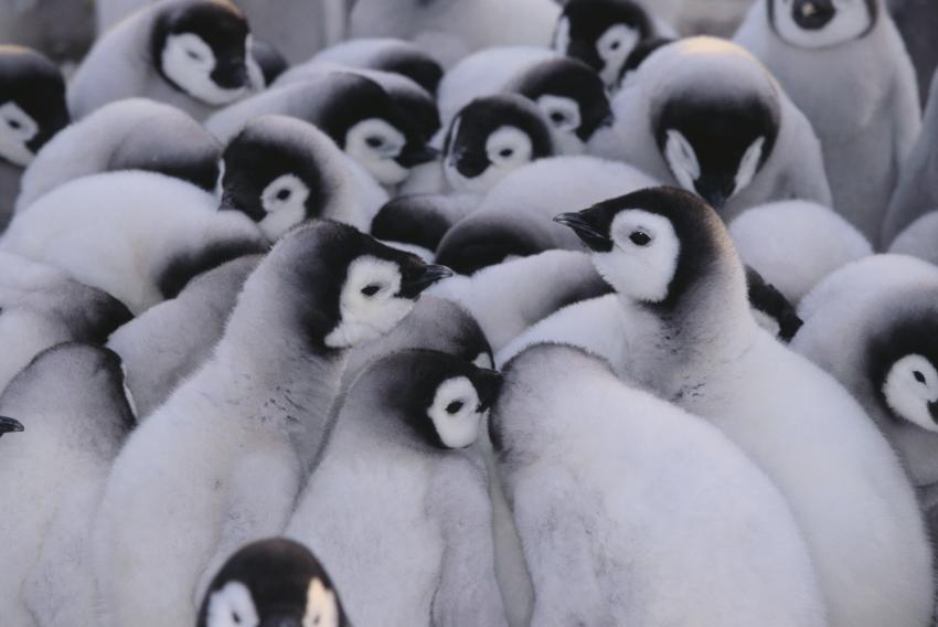 https://cf.ltkcdn.net/kids/images/slide/251687-850x568-Baby_Penguins.jpg