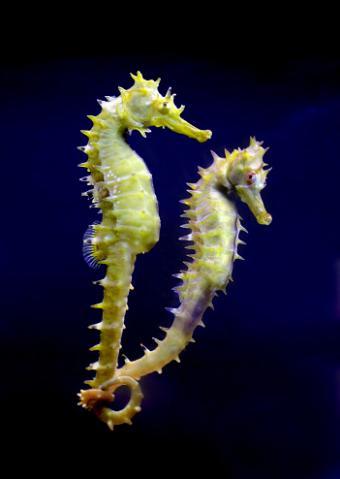Two sea horses