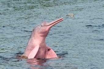 Amazon River Dolphin