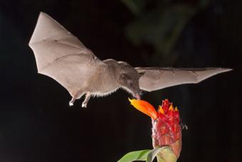 bat eating