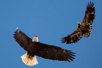 Bald Eagle Parent Teaching Adolescent