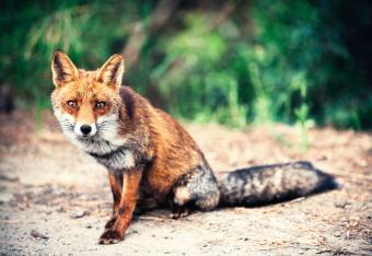 Red fox sitting on road