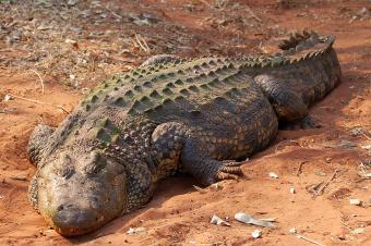 Desert Crocodile
