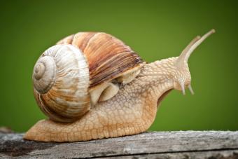 Roman snail on wood
