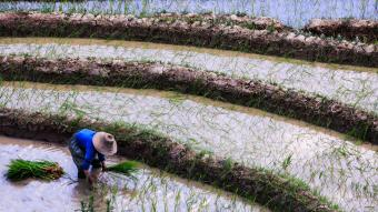 Chinese farmer planting rice