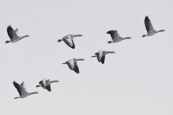 Greylag geese flying in v-formation