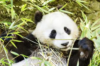 A cute adorable lazy baby giant Panda bear eating bamboo