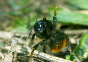 Bumblebee in funny pose