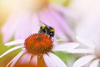 Honey Bee pollinating a pink Coneflower