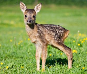 https://cf.ltkcdn.net/kids/images/slide/251595-850x729-Baby_Deer.jpg