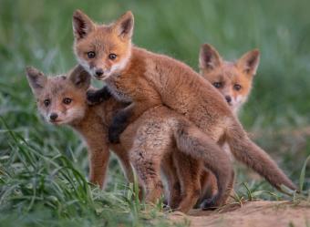 https://cf.ltkcdn.net/kids/images/slide/251597-850x622-Baby_Fox.jpg