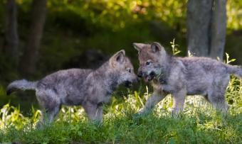 https://cf.ltkcdn.net/kids/images/slide/251598-850x509-Baby_Wolf.jpg