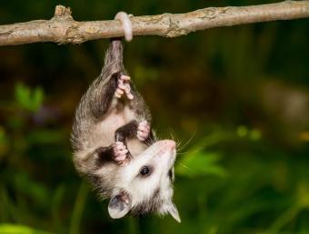 https://cf.ltkcdn.net/kids/images/slide/251600-850x646-Baby_Opossum.jpg