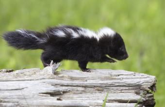 https://cf.ltkcdn.net/kids/images/slide/251601-850x552-Baby_Skunk.jpg