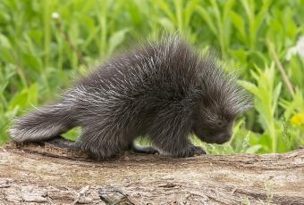 https://cf.ltkcdn.net/kids/images/slide/251602-850x576-Baby_Porcupine.jpg
