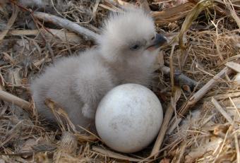 https://cf.ltkcdn.net/kids/images/slide/251605-850x578-Baby_Eagle.jpg