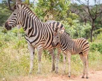 https://cf.ltkcdn.net/kids/images/slide/251619-850x672-Baby_Zebra.jpg
