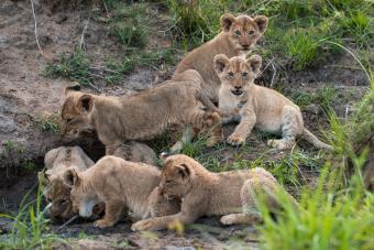 https://cf.ltkcdn.net/kids/images/slide/251621-850x567-Baby_lion_cubs.jpg
