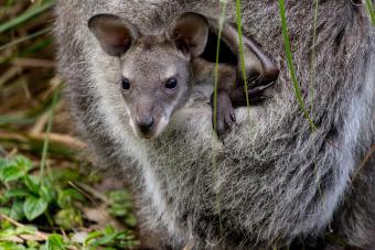 https://cf.ltkcdn.net/kids/images/slide/251622-850x567-Baby_Kangaroo.jpg