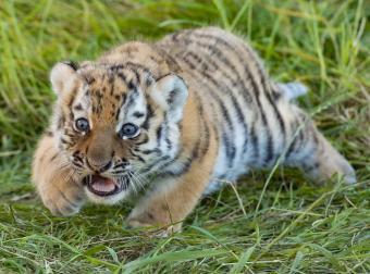 https://cf.ltkcdn.net/kids/images/slide/251625-850x631-Baby_Tiger.jpg