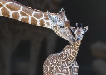 https://cf.ltkcdn.net/kids/images/slide/251627-850x602-Baby_Giraffe.jpg