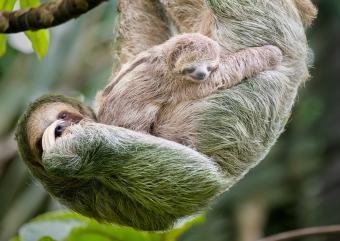 https://cf.ltkcdn.net/kids/images/slide/251630-850x603-Baby_sloth.jpg