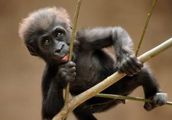 https://cf.ltkcdn.net/kids/images/slide/251634-850x599-Baby_Gorilla.jpg