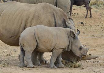 https://cf.ltkcdn.net/kids/images/slide/251646-850x597-Baby_Rhinoceros.jpg