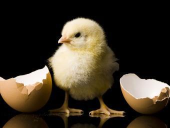 https://cf.ltkcdn.net/kids/images/slide/251660-850x640-Baby_Chick.jpg