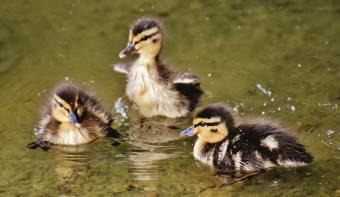 https://cf.ltkcdn.net/kids/images/slide/251678-850x493-Baby_Ducks.jpg