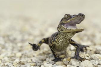 https://cf.ltkcdn.net/kids/images/slide/251681-850x567-Baby_Alligator.jpg