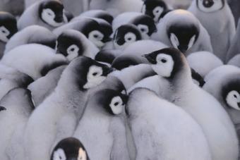 https://cf.ltkcdn.net/kids/images/slide/251687-850x568-Baby_Penguins.jpg