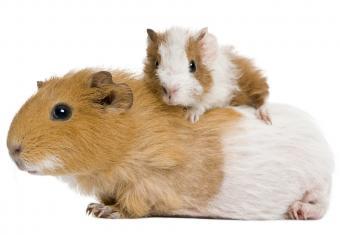 https://cf.ltkcdn.net/kids/images/slide/251692-850x587-Baby_Guinea_Pig.jpg