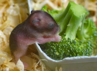 https://cf.ltkcdn.net/kids/images/slide/251693-850x620-Baby_Hamster.jpg