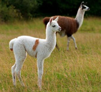https://cf.ltkcdn.net/kids/images/slide/251744-850x772-Baby_Llama.jpg