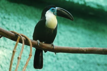Sitting toucan
