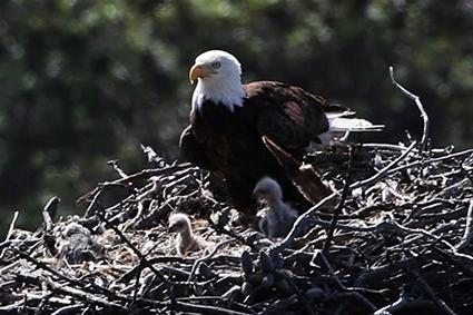 bald eagle and babies in nest