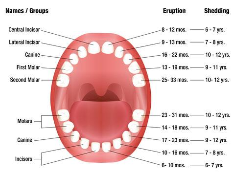 Temporary Teeth Chart