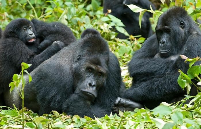 A family Gorillas
