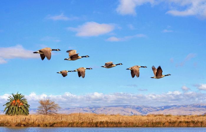Canada goose flying
