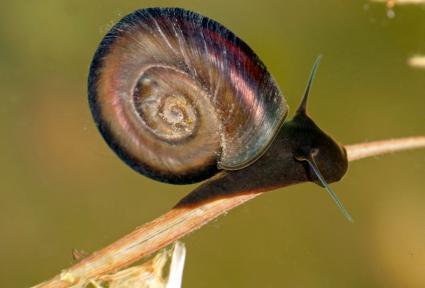 freshwater great ramshorn snail