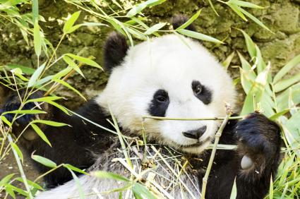 A cute adorable lazy baby giant Panda bear eating bamboo