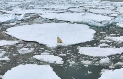 Polar bear sitting on sea ice